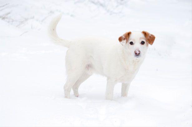 perro orejas marrones en la nieve